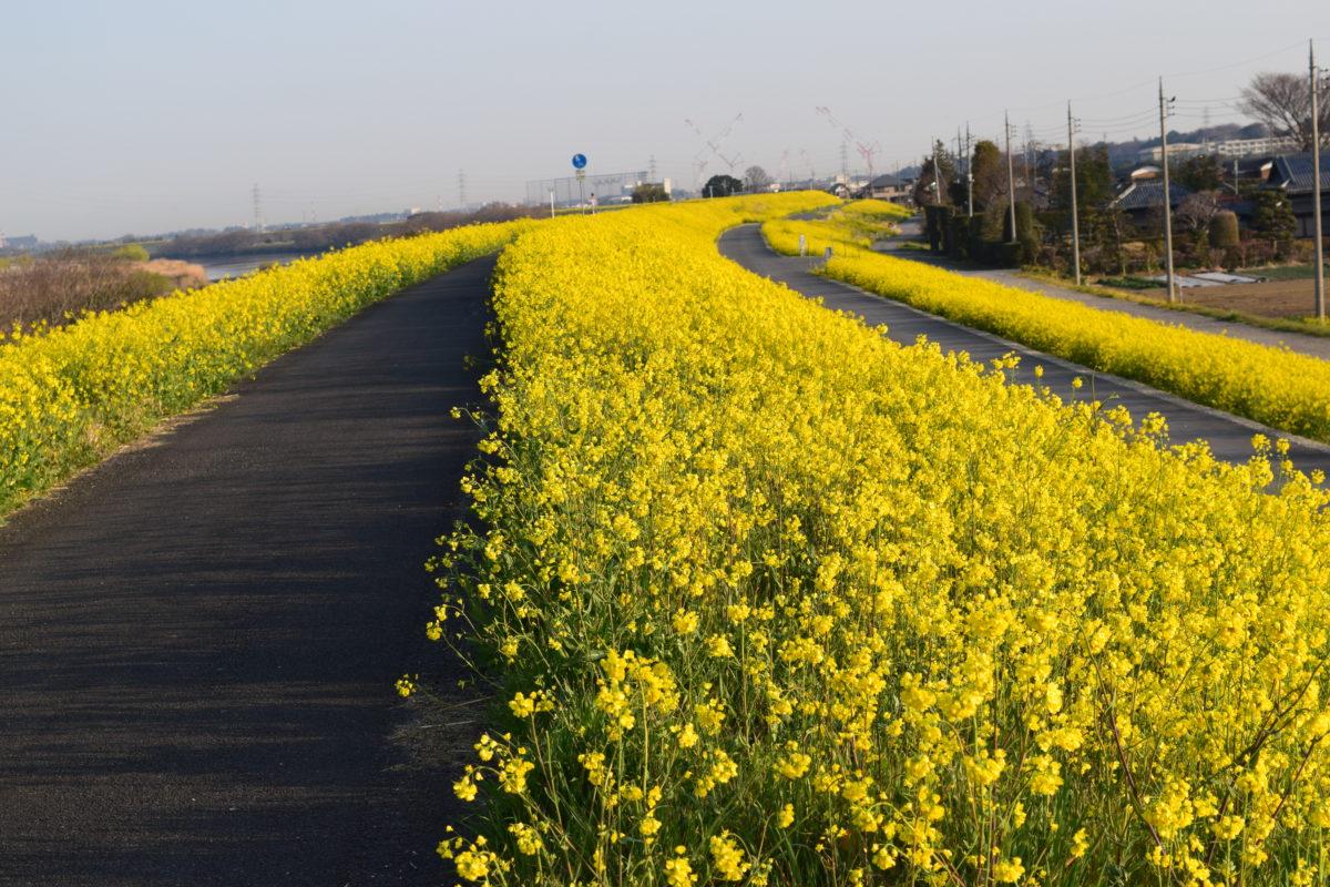 江戸川の菜の花
