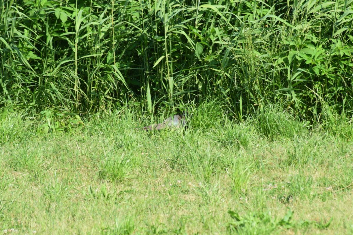 雉は草むらの中が住処