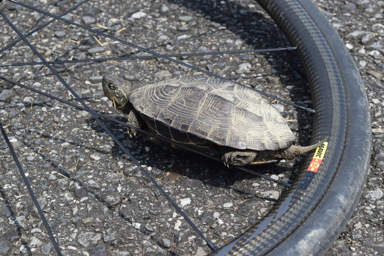 江戸川サイクリングロードと亀