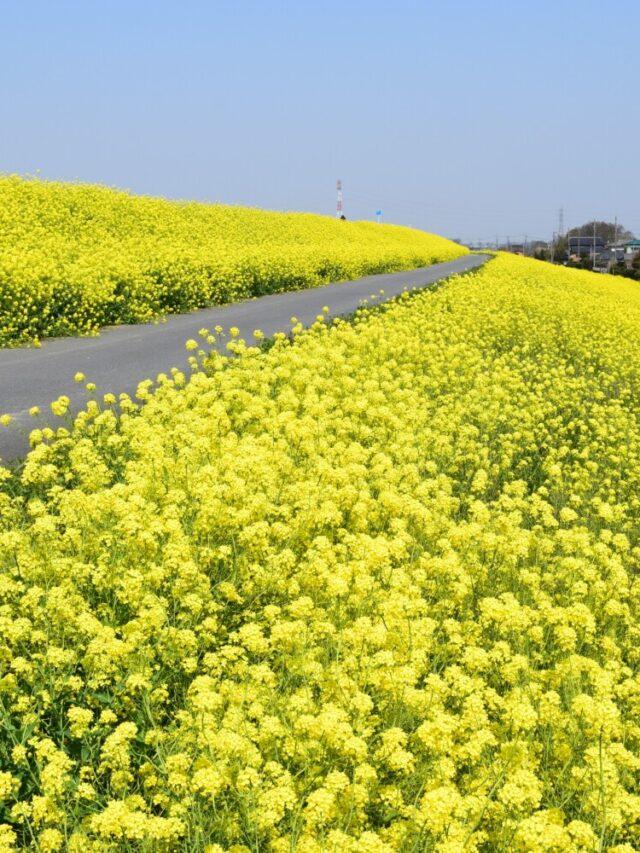 江戸川サイクリングロードの菜の花